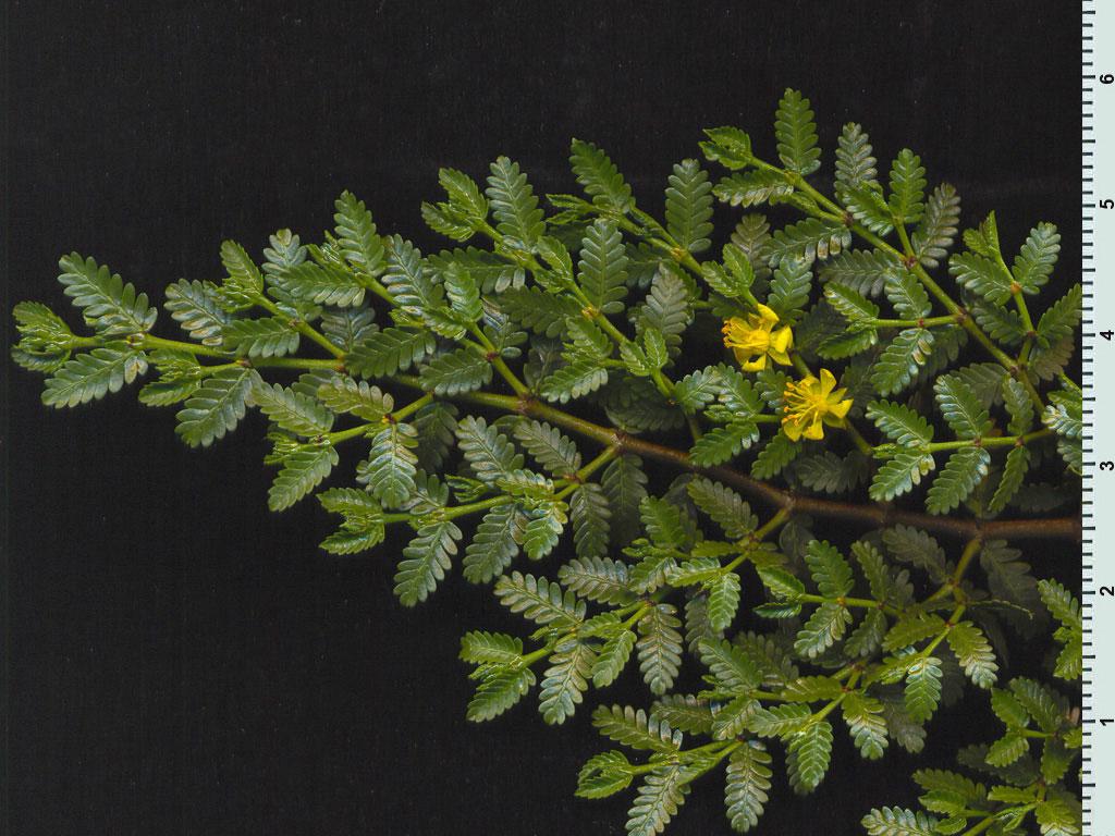 http://www.floramendocina.com.ar/imag1024_3/larrea_nitida_cavan._2008_01.jpg